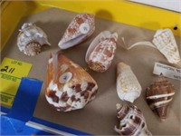 Cone Sea Shells from Large Collection and More