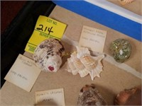 Assortment of Sea Shells from Large Collection