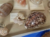 Collection of Assorted Sea Shells