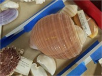 Sea Shell Assortment from Large Collection