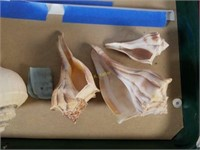 Conch Sea Shells from Large Collection