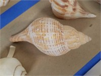 Variety of Sea Shells from Large Collection
