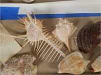 Unique Sea Shells from Large Collection