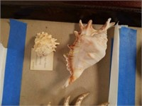 Conch Sea Shells and More from Collection