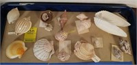 Assortment of Various Sea Shells from Countries