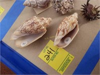 Abalone Sea Shells from Large Collection and More
