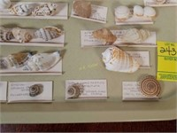 Large Collection of Small Sea Shells