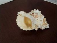 Whelk Conch Shells