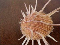 Regal Thorny Oyster Shell