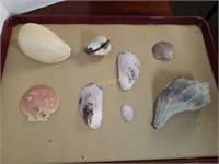 Ethiopian Volute, Conch Shells, and Assortment