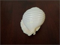 Malea Ringens Sea Shell