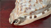 King Helmet Conch and Scorpion Conch