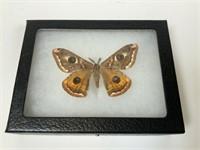 Lot of 5 preserved butterflies & moths