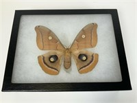3 Preserved & mounted moths