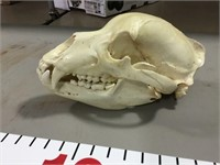 Grizzly Bear Skull - From Lot 618