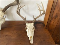 1 Mule Deer and 1 Whitetail Skulls