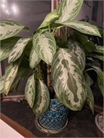 Live Banana Plant and an Additional Plant in Decor