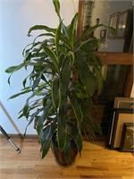 Large Live Palm Plant with Pot