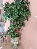 Ficus in Large Planter