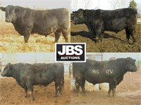 White RV Farms Bull Sale