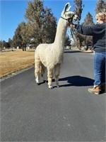 Cascade Llama Auction 2021
