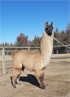 March of the Llamas 2021 Auction