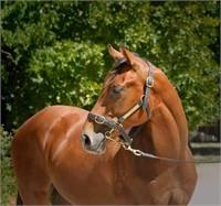 AWC ONLINE: HORSE & SADDLERY AUCTION (AUSTRALIA WIDE)
