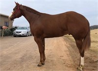 HOOSIER SELECT PERFORMANCE HORSE SALE  SPRING