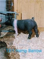 12-1 Hamp Barrow, Born: 02-02-21, Sire: Set the Bar