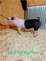 14-3 Crossbred Barrow, Born: 02-05-21, Sire: Heater