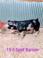 15-5 Spot Barrow, Born: 02-05-21, Sire: TF Tucked Away