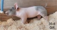 35-8 Crossbred Gilt, Born: 03-05-21, Sire: Lock Box