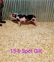 15-6 Spot Gilt, Born: 02-05-21, Sire: TF Tucked Away