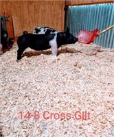 14-8 Crossbred Gilt, Born: 02-05-21, Sire: Heater