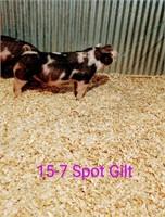 15-7 Spot Gilt, Born: 02-05-21, Sire: TF Tucked Away