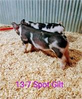 13-7 Spot Gilt, Born: 02-03-21, Sire: TF Bubba