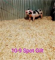 10-9 Spot Gilt, Born: 02-05-21, Sire: TF Tucked Away