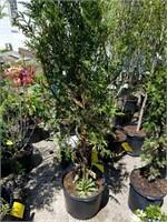 Tree, Shrub, Lawn & Garden Auction (Online Only)