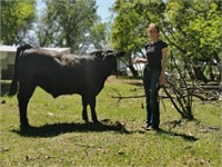 Sidney Beef 4H Club Steer Sale
